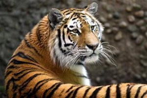 Koshka, a 3-year-old female Siberian tiger, rests in her enclosure at the Denver Zoo, June 12, 2009. Siberian tigers are classified as critically endangered, with an estimated population of less than 400 individuals remaining in the wild.   REUTERS/Rick Wilking