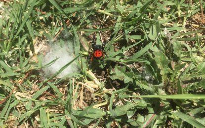 Σέρρες: Σπάνιο είδος αράχνης – πασχαλίτσας εμφανίστηκε στις Σέρρες (Eικόνες)