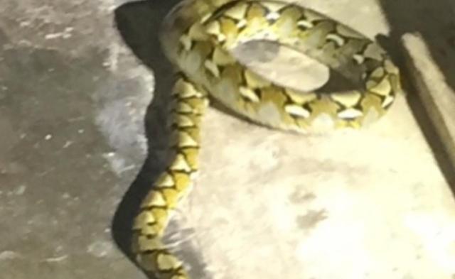 Βρήκαν μέσα στο σπίτι τους στο Ηράκλειο Κρήτης φίδι δύο μέτρων(Εικόνες)