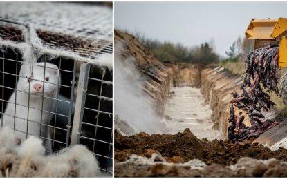 Δανία: Μινκ «ζόμπι» πετάγονται από τους τάφους!